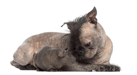 Hairless Mixed-breed dog lying with a hairless guinea pig and looking at it in front of white background photo
