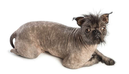 lying on side: High view of a Hairless Mixed-breed dog looking at the camera in front of white background