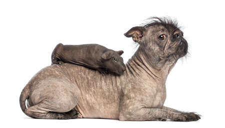 pig out: Hairless guinea pig lying on the back of a Hairless Mixed-breed dog in front of white background Stock Photo