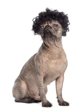 Hairless Mixed-breed dog of a French bulldog and a Chinese crested dog, sitting, looking away and wearing a black curly wig in front of white background photo