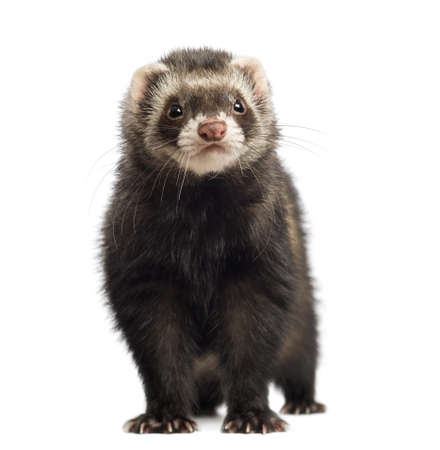 ferret: Ferret, 9 months old, looking at the camera in front of white background