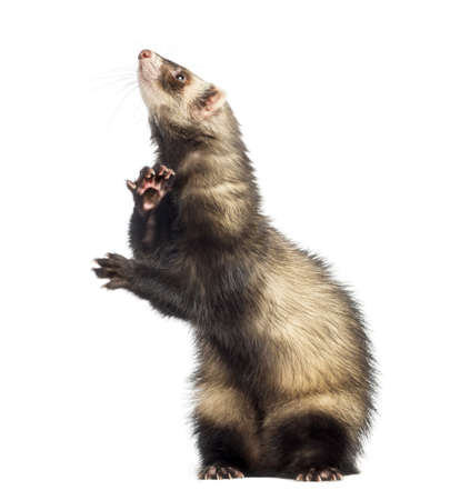 hind: Ferret standing on hind legs and looking up, isolated on white