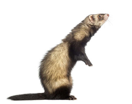 Ferret standing on hind legs and looking up, isolated on white photo