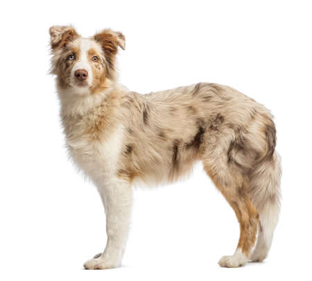 australian shepherd: Side view of a Australian Shepherd in front of white background