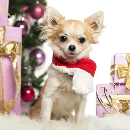Chihuahua sitting wearing a Christmas scarf in front of Christmas decorations against white background photo