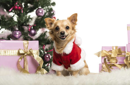 Chihuahua sitting and wearing a Christmas suit in front of Christmas decorations against white background Stock Photo - 19012644