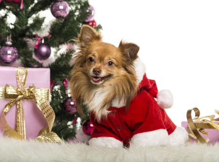Chihuahua sitting and wearing a Christmas suit in front of Christmas decorations against white background Stock Photo - 19013022