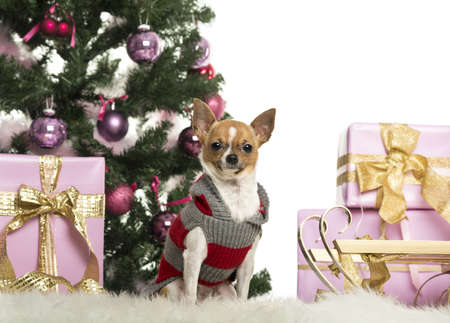 Chihuahua dressed and sitting in front of Christmas decorations against white background photo