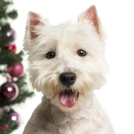 West Highland White Terrier in front of Christmas decorations against white background photo
