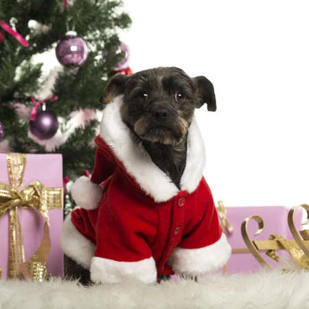 Crossbreed sitting and wearing a Christmas suit in front of Christmas decorations against white background Stock Photo - 19009206