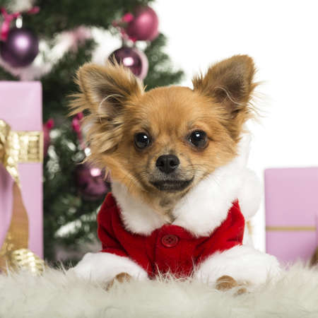 Chihuahua wearing a Christmas suit in front of Christmas decorations against white background photo
