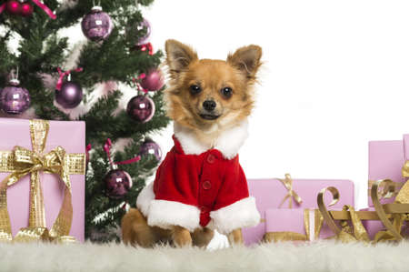 Chihuahua sitting and wearing a Christmas suit in front of Christmas decorations against white background photo