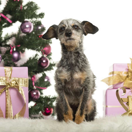 Crossbreed sitting in front of Christmas decorations against white background Stock Photo - 19012794