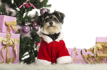 Maltese sitting and wearing a Christmas suit in front of Christmas decorations against white background photo