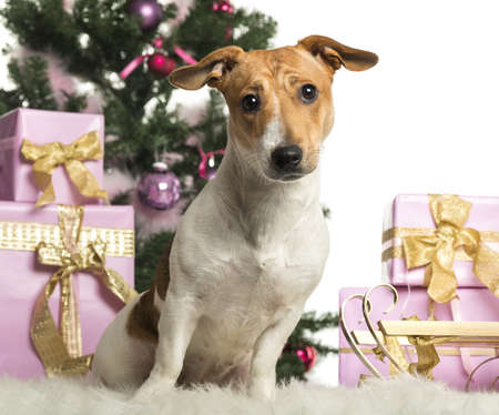 Jack Russell Terrier sitting in front of Christmas decorations against white background Stock Photo - 19012920