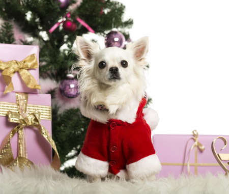 Chihuahua sitting and wearing a Christmas suit in front of Christmas decorations against white background Stock Photo - 19012435
