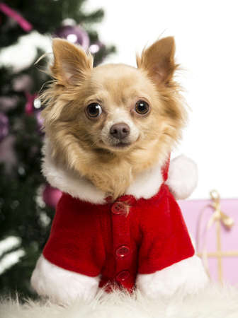 Chihuahua sitting and wearing a Christmas suit in front of Christmas decorations against white background Stock Photo - 19013050