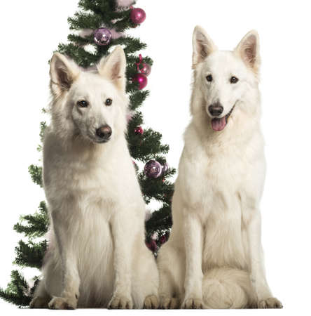 berger: Berger Blanc Suisse sitting in front of Christmas decorations against white background