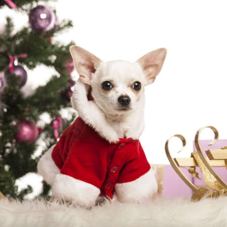 Chihuahua sitting and wearing a Christmas suit in front of Christmas decorations against white background Stock Photo - 19006407