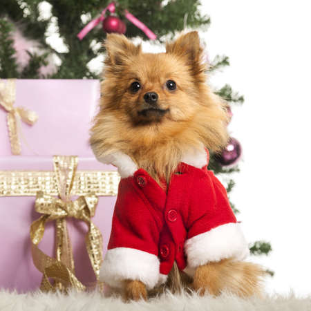 Chihuahua sitting and wearing a Christmas suit in front of Christmas decorations against white background Stock Photo - 19008971