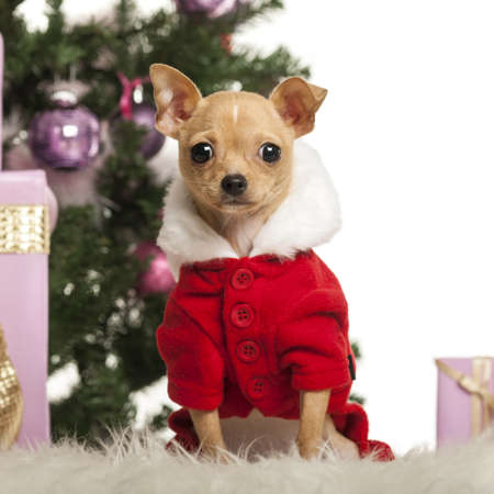 Chihuahua sitting and wearing a Christmas suit in front of Christmas decorations against white background Stock Photo - 19006433