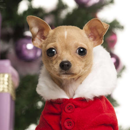 Chihuahua wearing a Christmas suit in front of Christmas decorations against white background Stock Photo - 19008748