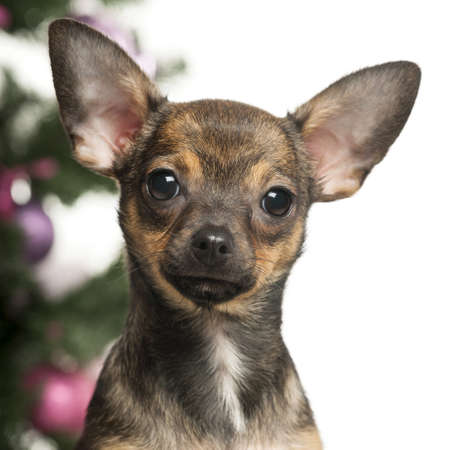 Chihuahua in front of Christmas decorations against white background photo