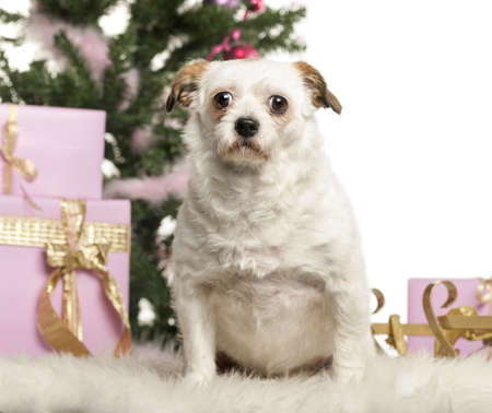 Crossbreed sitting in front of Christmas decorations against white background Stock Photo - 19008787