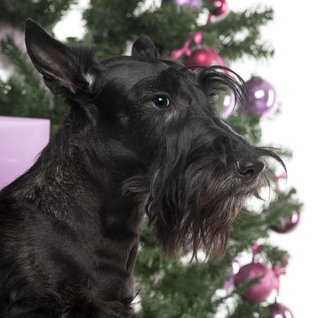 Scottish Terrier in front of Christmas decorations against white background photo