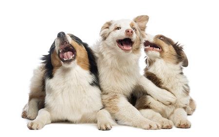 kampfhund: Group of Australian Shepherd liegen und spielen, isoliert auf weiß Lizenzfreie Bilder