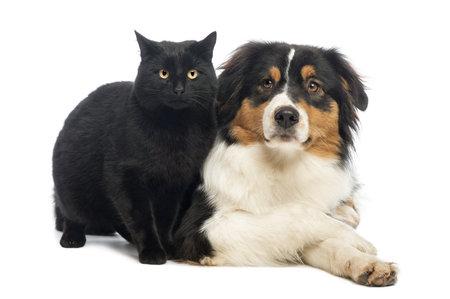 perros jugando: Pastor australiano que yac�a junto a un Gato Negro, aislado en blanco