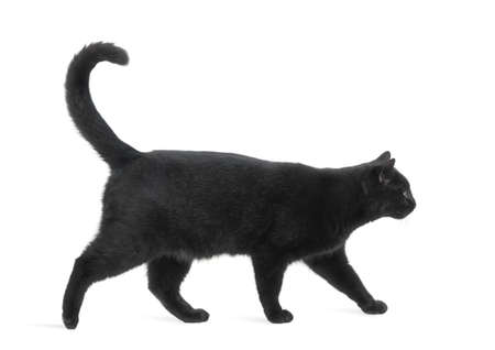 white cats: Side view of a Black Cat walking, isolated on white