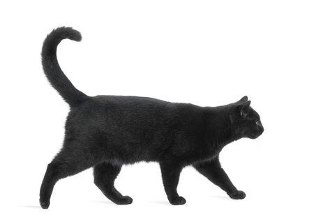 gato negro: Vista lateral de un gato caminando Negro, aislado en blanco