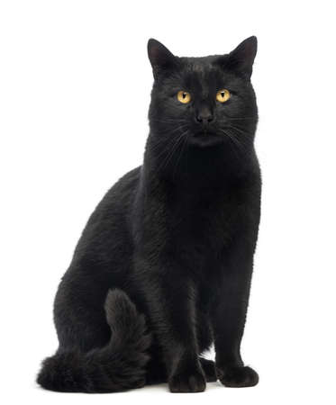 gato negro: Gato negro sentado y mirando a la cámara, aislado en blanco
