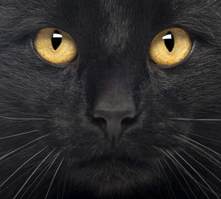 cat eyes: Close-up of a Black Cat Stock Photo