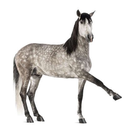 Andalusian raising front leg against white background photo