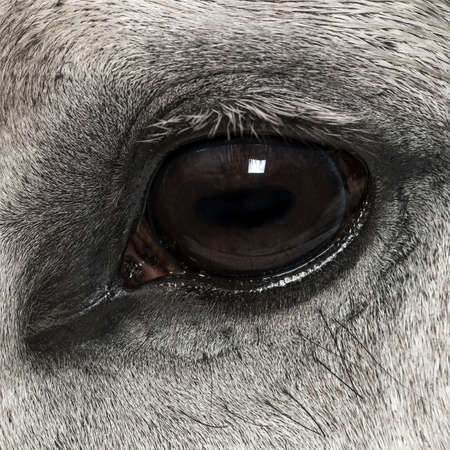 andalusian: Close-up of an Andalusian eye
