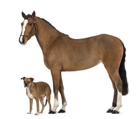 Crossbreed dog standing next to a Female Andalusian against white background photo