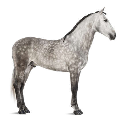 Andalusian against white background photo