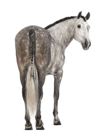 Rear view of an Andalusian, 7 years old, looking back, also known as the Pure Spanish Horse or PRE against white background photo