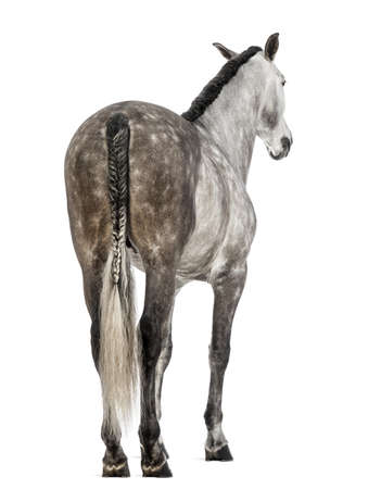 andalusian: Rear view of an Andalusian against white background