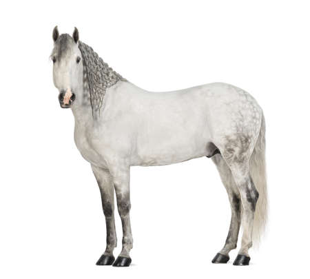 cut outs: Side view of a Male Andalusian with plaited mane against white background Stock Photo