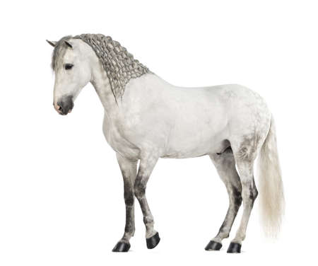andalusian: Side view of a Male Andalusian with plaited mane against white background Stock Photo