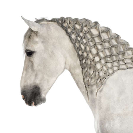 andalusian: Close-up of a Male Andalusian with plaited mane against white background Stock Photo