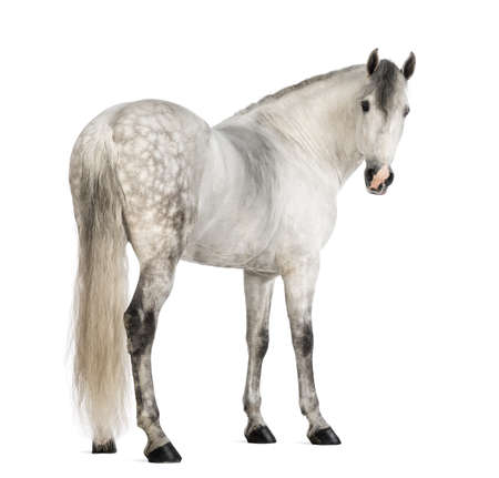 horse andalusian horses: Rear view of a Male Andalusian looking back against white background Stock Photo
