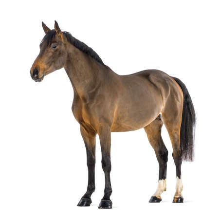 horse isolated: Male Belgian Warmblood against white background Stock Photo