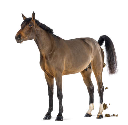 feces: Male Belgian Warmblood, BWP, 3 years old, defecating against white background Stock Photo