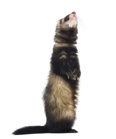 ferret: Ferret standing on hind legs and looking up, isolated on white