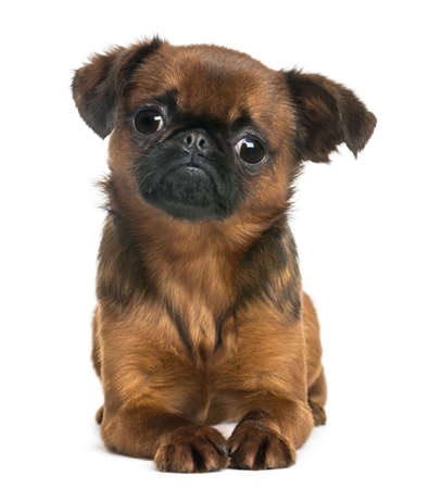 brussels griffon: Petit Brabançon lying and looking at the camera, isolated on white