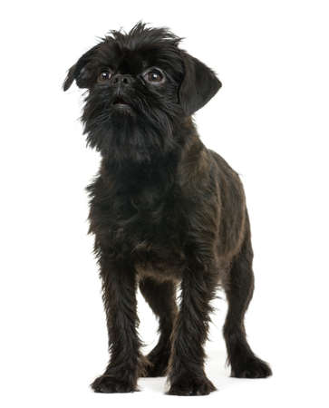 brussels griffon: Griffon Bruxellois looking away, isolated on white